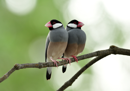 Fascinated lovely pair of Java Sparrow (Lonchura oryzivora) fine grey birds with pink legs and bills perching together on tree branch over bright and green background, cute animal Stock Photo
