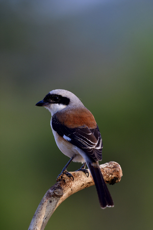Bay-backed Shrike (Lanius vittatus) Beautiful brown back, black wings and grey head bird showing its back feathers profile while perching on wooden branch Stock Photo