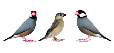 Family of Java Sparrow (Lonchura oryzivora) beautiful grey bird with black head pink bills and white cheek fully standing isolated on white backgroud, fascinated animal