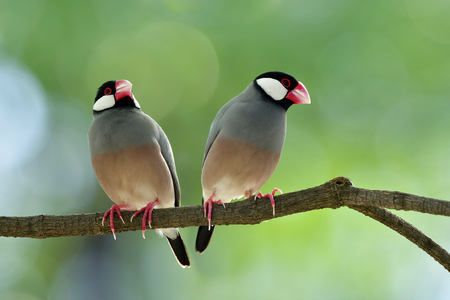 Couple of Java sparrow (Lonchura oryzivora) beautiful grey birds with pink legs and bills perching together on a branch over blur green background, fascinated animal