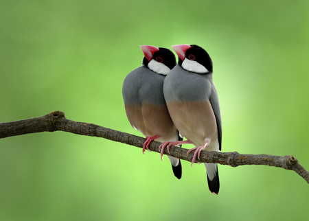 Sweey couple of Java Sparrow (Lonchura oryzivora) teasing each other on a branch over blur green backgroud, exotic birds