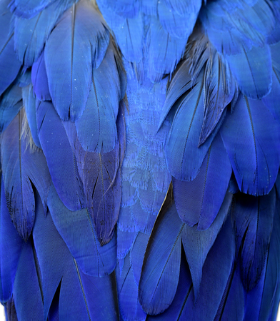 Beautiful texture of blue parrot bird wings, exotic background
