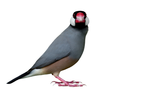 Java Sparrow (Lonchura oryzivora) beautiful grey bird with black head pink bills and white cheek fully standing and straight face isolated on white backgroud, fascinated animal