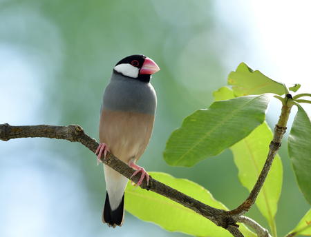 Beautiful Java sparrow (Lonchura oryzivora) fine grey birds with pink legs and bills solo perching  on a branch in nature