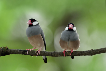 Animal in breeding season, Sweet pair of Java sparrow (Lonchura oryzivora) beautiful grey birds with pink legs and bills perching together