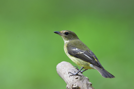 Female of Yellow-rumped flycatcher (Ficedula zanthopygia) beautiful pale green to yellow bird perching on bright log over blurry green background in natural enviromental