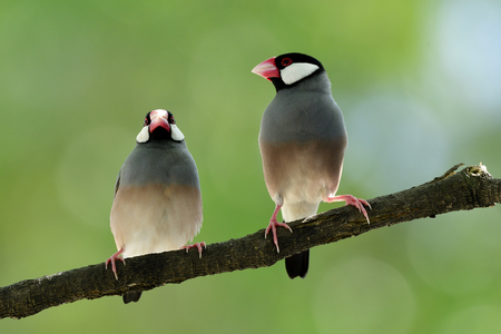 Sweet pair of Java sparrow (Lonchura oryzivora) beautiful grey birds with pink legs and bills perching together, fascinated animal Stock Photo