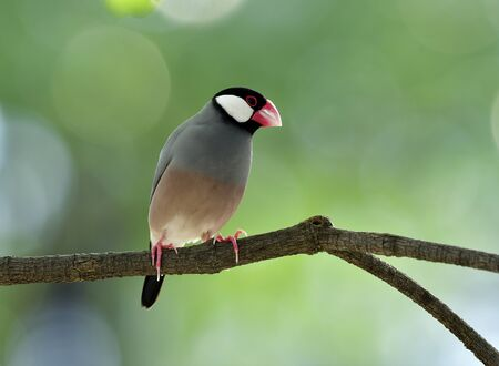 Sweet Java sparrow (Lonchura oryzivora) fine grey birds with pink legs and bills solo perching  on a branch in nature