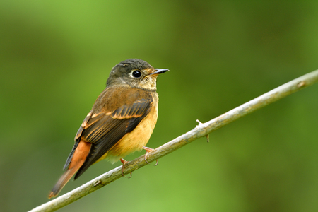 Ferruginous flycatcher (Muscicapa ferruginea) lovely brown bird with grey head and big eyes species in Muscicapidae, exotic wild animal