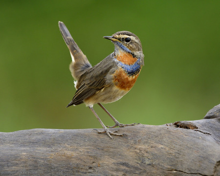 Bluethroat (Luscinia svecica) popular brown bird with blue and orange feathers on its neck perching on dried log with tail high lifted, amazed nature Stock Photo