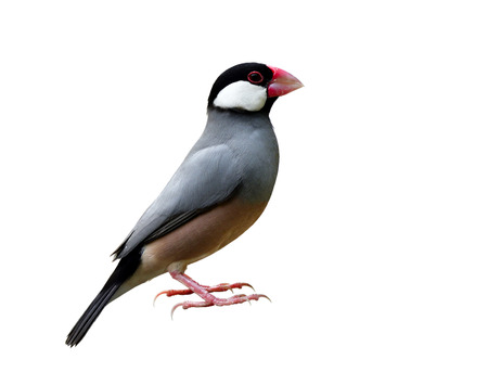 Beautiful Java sparrow (Lonchura oryzivora) Java finch or Rice bird, small grey with pink legs and bills fully standing isolated on white background Stock Photo