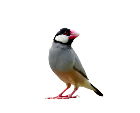 Beautiful Java sparrow (Lonchura oryzivora) known as Java finch or Rice bird  small grey with pink legs and bills fully standing isolated on white background Stock Photo