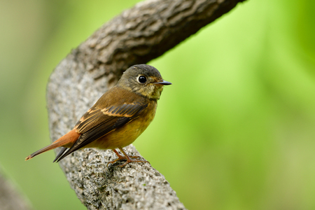 Beautiful brown to yellow bird perching on big curved brach in nature, Ferruginous flycatcher (Muscicapa ferruginea)