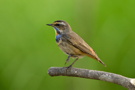 Bluethroat (Luscinia svecica) funny brown bird with blue and orange feathers on its neck perching on branch with single leg down, amazed nature