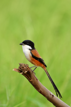 Long-tailed or rufous-backed shrike (Lanius schach) beautiful black head bird with red back feathers perching on a pole in rice farm plantation