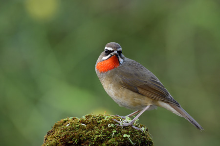 Male of Siberian rubythroat (Calliope calliope) beautiful bright red neck brid perching on top mossy ground showing its velvet feathers, exotic animal