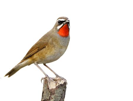 Schöner brauner Vogel des sibirischen Rubythroats (Calliope Calliope) mit hellen orange Federn auf seinem Hals, der auf hölzernem Pfosten hockt, isoalted auf weißem Hintergrund, fasziniertes Tier