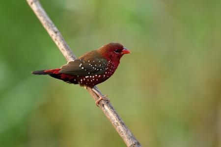 Mâle d'Avaravat rouge, munia rouge ou pinson des fraises (Amandava amandava) bel oiseau rouge velours avec de beaux yeux snf bec fort perçant sur une branche d'herbe dans un champ de prairie