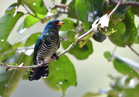Asian Emerald Cuckoo Chrysococcyx Maculatus Beautiful Velvet Green Bird With Striped Belly Perching On