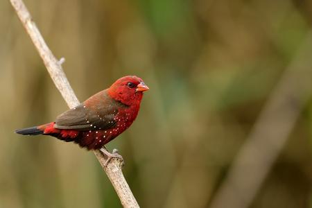 Mâle d'Avadavat rouge, munia rouge ou pinson des fraises (Amandava amandava) bel oiseau rouge avec de beaux yeux bec fort perçant sur un bâton en bois dans un champ de prairie