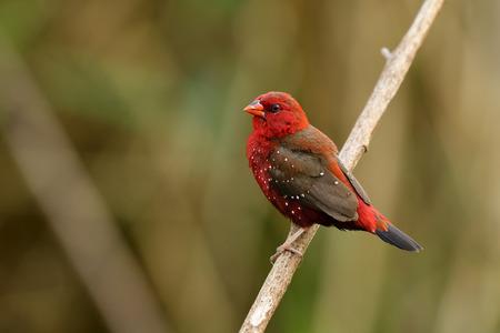 Mâle d'avadavat rouge, munia rouge ou pinson des fraises (Amandava amandava) bel oiseau rouge avec de beaux yeux bec fort perçant sur un bâton en bois faisant ses plumes gonflées