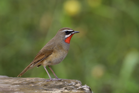Amazed male of Siberian rubythroat (Calliope calliope) beautiful bright fire neck bird fully perching on strong rock path showing velvet feathers on its chest, exotic animal