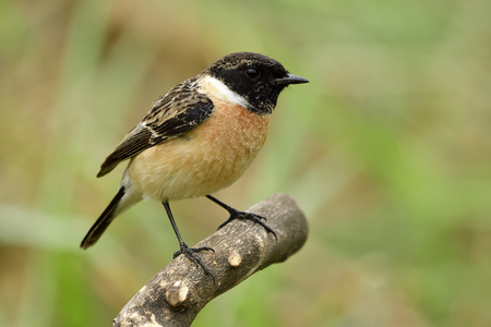 Male of Siberian or Asian stonechat (Saxicola maurus) funny brown bird with black head standing on wooden pole in nature, fascinated creature Stock Photo
