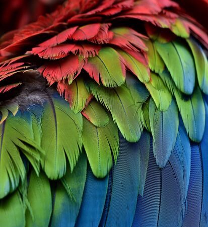 Beautiful sharp blue green and red of Green-winged Macaw feathers in close up, exoti texture and background
