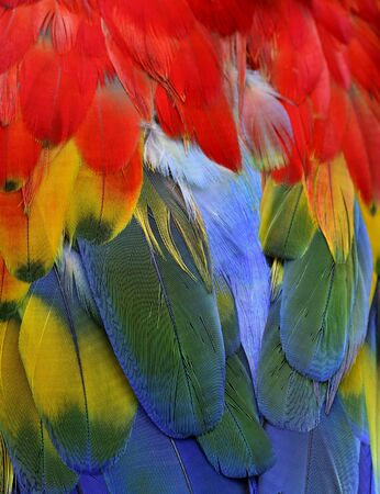 Fascinated multiple colrs blue green yellow and red of Scarlet Macaw feathers in close up, beautiful nature texture and amazed background 写真素材
