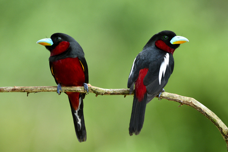Lovely couple Black and red broadbill (Cymbirhynchus macrorhynchos) beautiful birds perching together on wooden stick over fine blur green background in breeding season at Kaeng Kracha National Park, exotic animal Фото со стока
