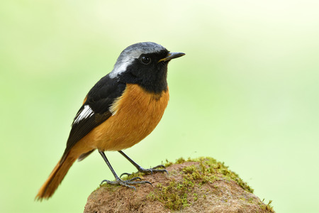 Male of Daurian redstart (Phoenicurus auroreus) lovely orange bird with black wings and silver head perchingon dirt spot over bright green background Stock Photo