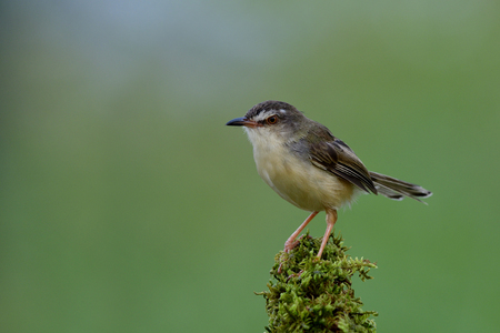 Lovely plain prinia, beautiful brown bird with long tail standing on mossy grass in soft lighting and green background in meadow field