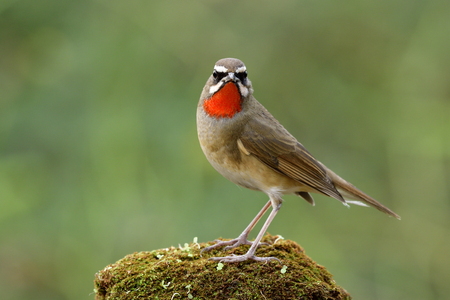 Male of Siberian rubythroat (Calliope calliope) bright red neck bird strait looking forward to photographer while perching on mossy over green blur background