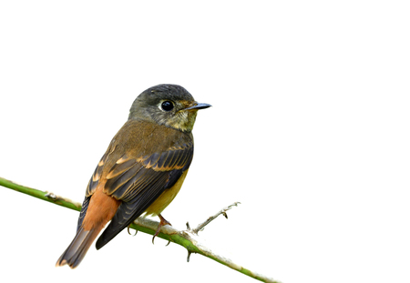 Beautiful brown to yellow bird perching on thin brach showing its back feathers profile isolated on white background, Ferruginous flycatcher (Muscicapa ferruginea)
