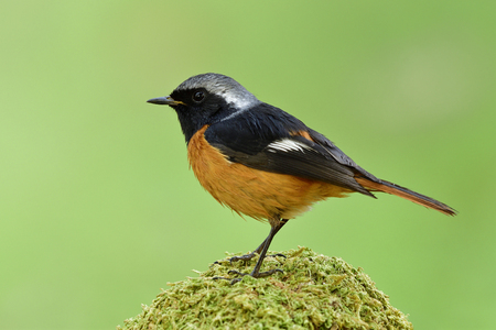 Male of Daurian redstart (Phoenicurus auroreus) handsom orange bird with black wings and silver head perching on green moss spot in soft morning lighting condition