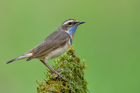 Luscinia svecica (Bluethroat) Brown bird with bright blue and orange feathers on its chin on fine green background in soft light Stock Photo