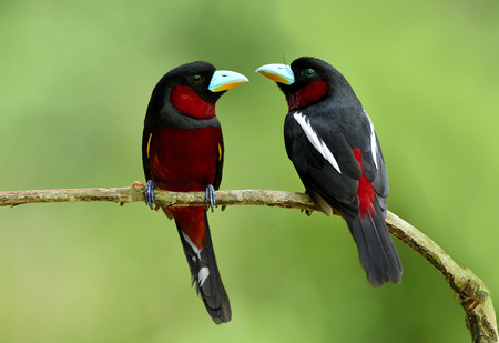 Pair of Black-and-red broadbill (Cymbirhynchus macrorhynchos) beautiful black bird with red belly and rump together perching on branch over bright green blur background in nature