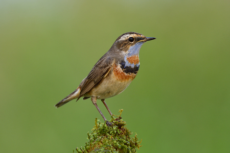 Beautiful bird with light and dark velvet blue and orange feathers on its chest standing on geen grass spot in meadow field, Bluethroat (Luscinia svecica)