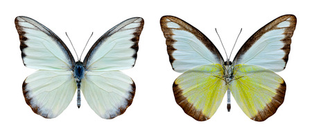 Set of Chocolate Albatross (Appias lyncida vasava) beautiful white butterfly showing upper and under wings in natural color details isolated on white background