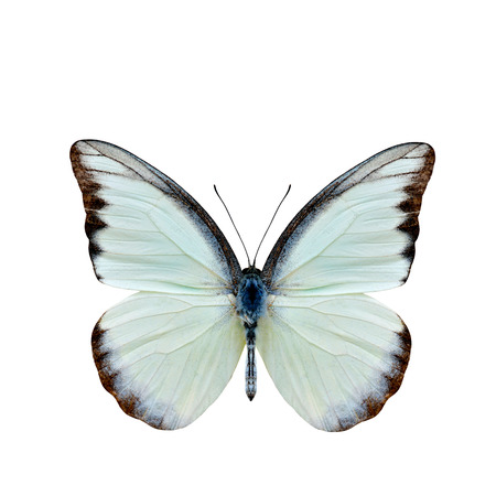 Chocolate Albatross (Appias lyncida vasava) fine pale green to white butterfly upper part wings in natural color details isolated on white background Stock Photo