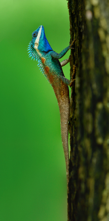 Beautiful bright blue head chameleon on tree over fine blur green background in nature, fascinated lizard
