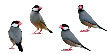 Set of Java Sparrow (Lonchura oryzivora) beautiful fine grey birds with pink legs bills and black tail details from head to tail isolated on white background, exotic animal Stock Photo