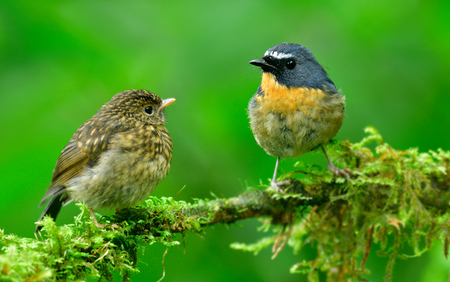 Family of Snowy-browed Flycatcher (ficedula hyperythra) father in blue and baby in brown feather color perching on same mossy branch over fine green background, exotic nature 写真素材