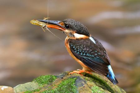 Blue-banded Kingfisher (Alcedo euryzona) belle mère oiseau transportant de petites crevettes tout en se perçant sur la roche en ruisseau pour le nourrir poussins, animal sauvage exotique Banque d'images