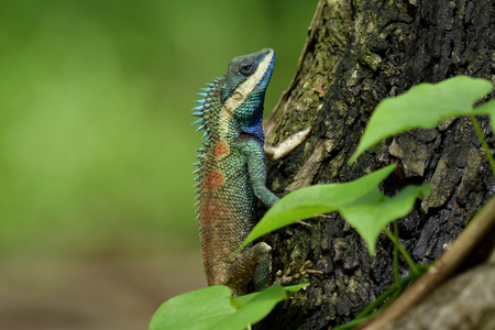 Beautiful blue dragon lizard with red spots on its back and sharp detail of its spine skin, chameleon on tree over fine blur green background in nature