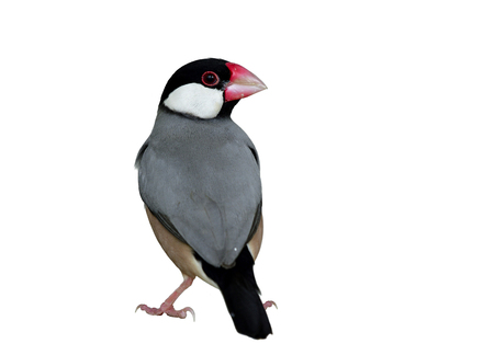 Java Sparrow (Lonchura oryzivora) fine grey birds with pink legs and bills black tail and head standing on ground showing its back feathers profile isolated on white background, fascinated animal