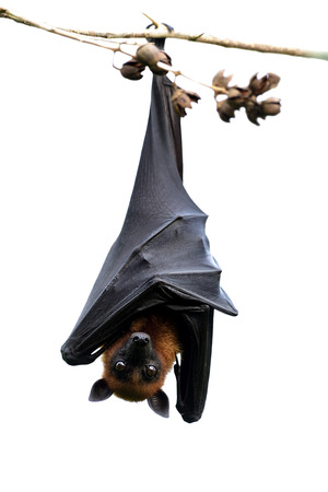 Wakening vampire isolated on white background, mega or fruit hanging himself up side down from thin wooden branch with scary big eyes opening Standard-Bild