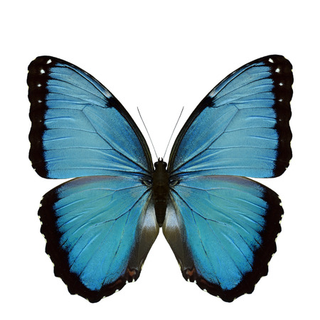 Blue morpho butterfly (morpho didius) exotic velvet and vibrant butterfly with black ring wings upper wing part in natural color profile isolated on white background, fascinated animal
