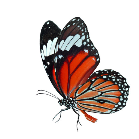 Orange butterfly, Common Tiger (Danaus genutia) in fancy color profile  with fine sweeping wings isolated on white background, fascinated nature