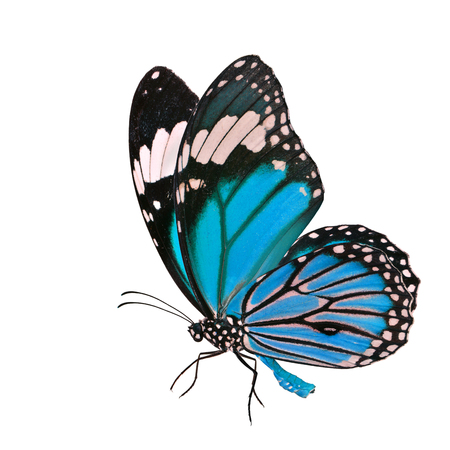 Fine Blue butterfly, Common Tiger (Danaus genutia) in fancy color profile  with fine sweeping wings isolated on white background, fascinated nature Stock Photo